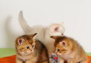 תערוכת חתולים וגורי חתולים  - נס השנה חדשה - חגיגה למשתתפים ולצופים בישראל